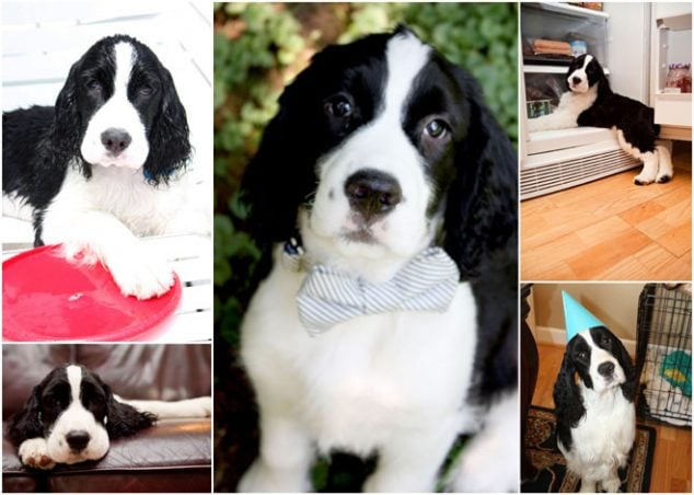 Henry the English Springer Spaniel