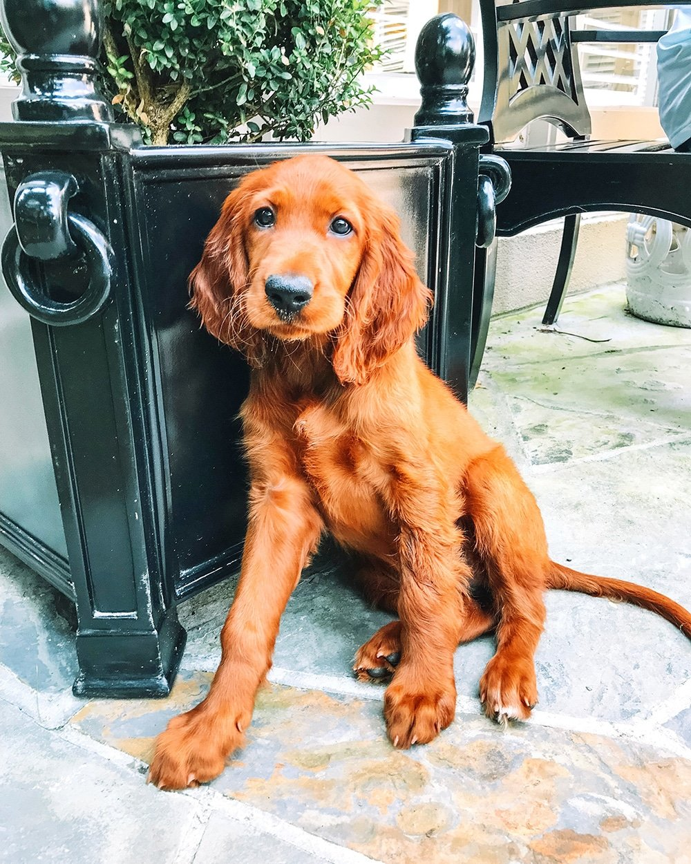 Sally the Irish Setter Puppy