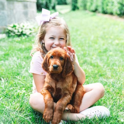 Irish Setter Puppy Dog