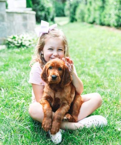 Irish Setter Puppy Dog