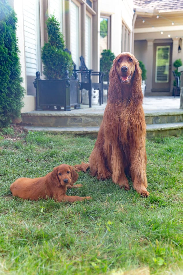 Sally and George Irish Setters
