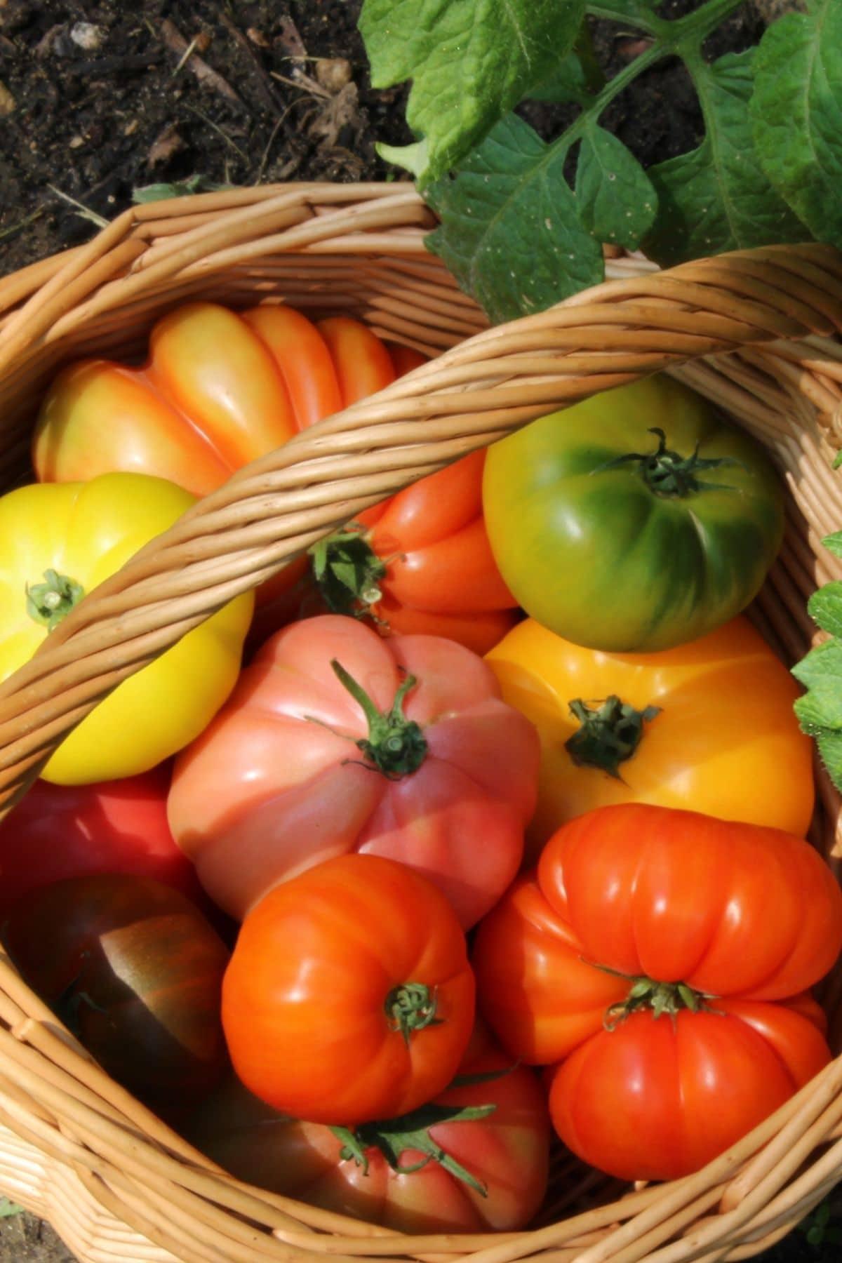 heirloom tomatoes in a basket.
